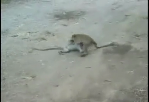 A few seconds later this monkey gave the other a DDT!
